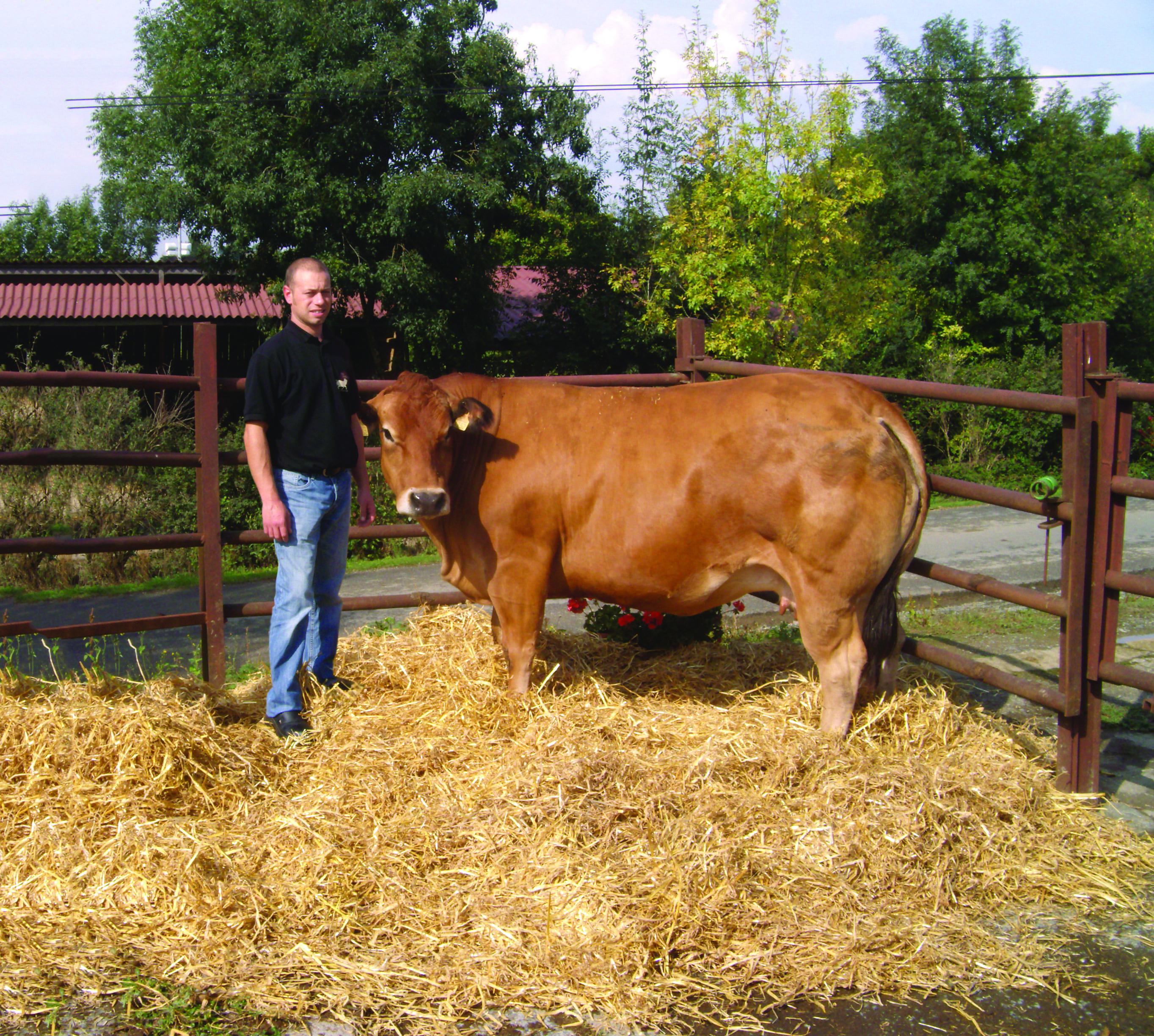 Un éleveur près d'une vache